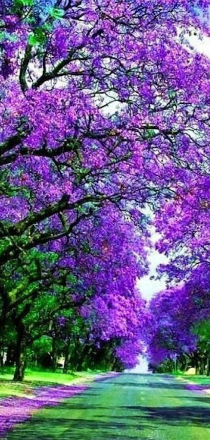 blossoming jacaranda trees sydney australia purple
