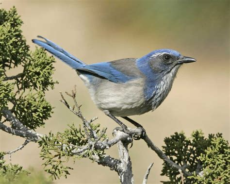 california scrub jay audubon field guide