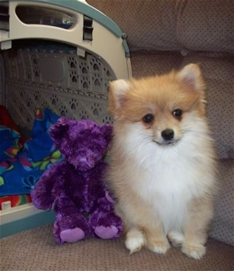 pomeranian and american eskimo pomimo breed information and pictures