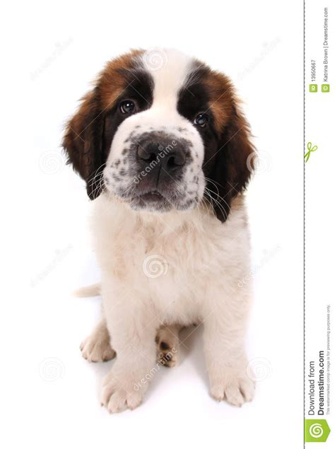 Bernard White white st bernard pictures to pin on pinsdaddy