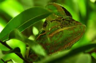 yemen chameleon types of chameleons chameleon facts