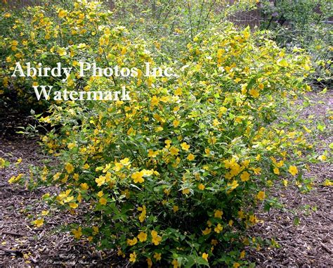 yellow flowering shrubs plants flowering shrubs bushes