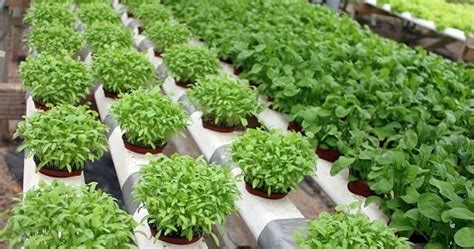 cara membuat nutrisi hidroponik secara organik cara membuat nutrisi organik tanaman hidroponik