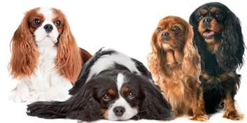 cavalier colors cavalier king charles spaniel nose butter 174 for crusty or