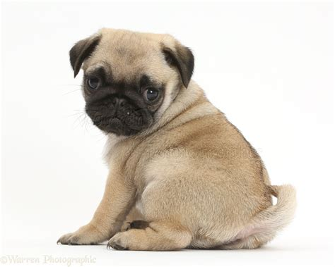 pug photos pictures puppies dogs pug puppy looking shoulder photo wp41974
