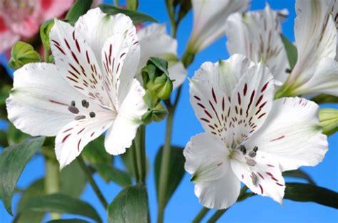 alstroemeria fiore significato dei fiori l alstroemeria pollicegreen