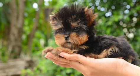 yorkie small teacup yorkie a guide to the world s smallest