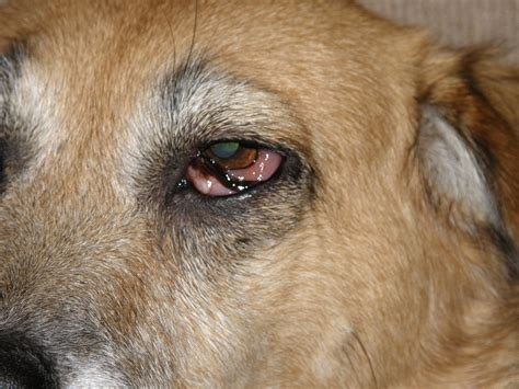 my eye is red watery and sensitive to light my dogs eyes are watery and swollen hairsstyles co