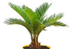 outdoor potted palms