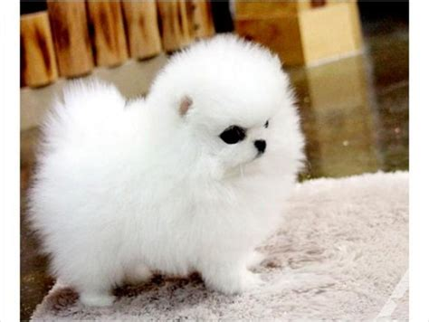 pomeranian puppies miami home raise lovely and pomeranian puppies for adoption for sale in miami
