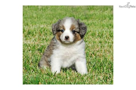 mini aussie puppies oregon mini australian shepherd puppies for sale oregon breeds picture