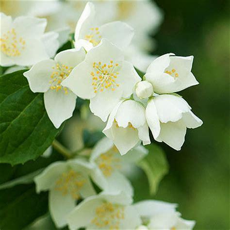 Flowers 101 Stephanotis by Instyle Wedding Flowers 101