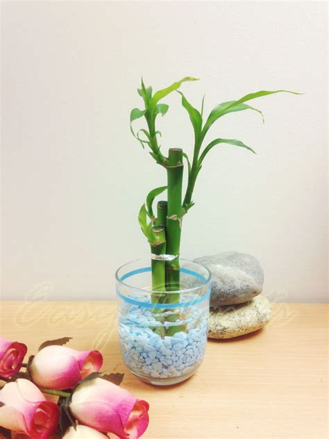 1 pot of lucky bamboo in colourful glass vase house plant