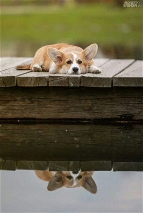 corgi working out for summer 584 best images about corgis on the
