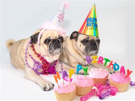 happy birthday pug images best 25 happy birthday pug ideas on happy birthday wishes msg happy