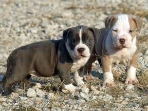 Cute dogs american pitbull terrier puppies