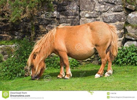 shetland pony stock photos images royalty free shetland miniature pony stock photo image of shetland miniature