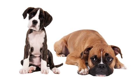 box of puppies top 15 stunning boxer dogs best wallpapers morewallpapers