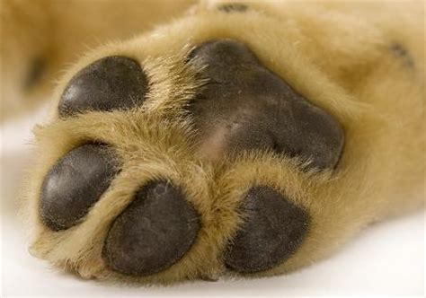 paw pads anatomy of a s paw with a labeled diagram
