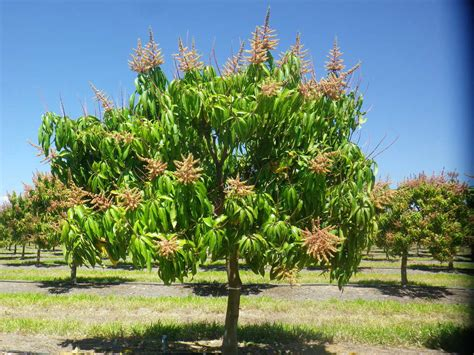 weight 65 kensington fir tree the small tree high productivity initiative researching the shape of future mango orchards amia