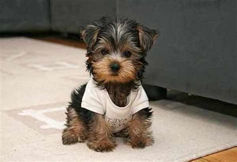 best small house dog small house dogs that don t shed yaoqunsz images gallery cute dogs pinterest