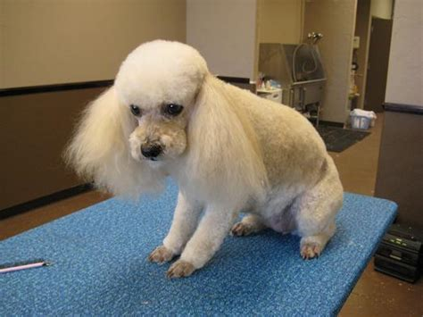 human hair dog cut pics dogs hair cut