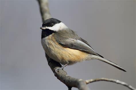 carolina chickadee song of america birdseed