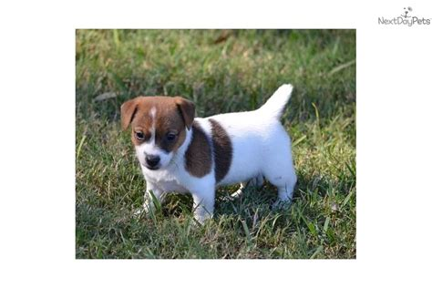 free puppies ocala fl terrier pic terrier florida breeds picture