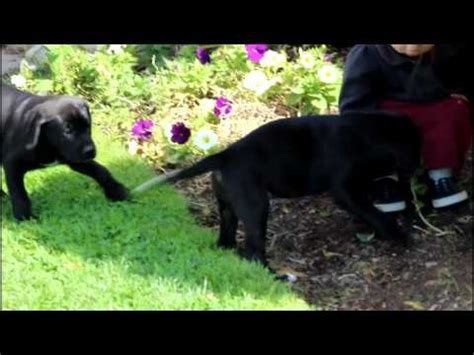 boxador puppies for sale best 25 boxador puppies ideas on boxer lab mixes boxer mix puppies and