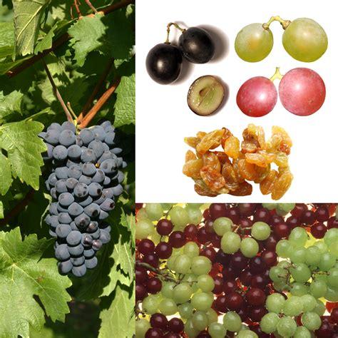 imagenes de uvas tintas uva wikipedia la enciclopedia libre