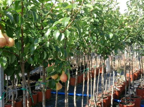 piante da frutta in vaso piante da frutto prezzi vantaggiosi