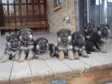 king german shepherd puppies for sale 17 best ideas about king shepherd on king german shepherd haired