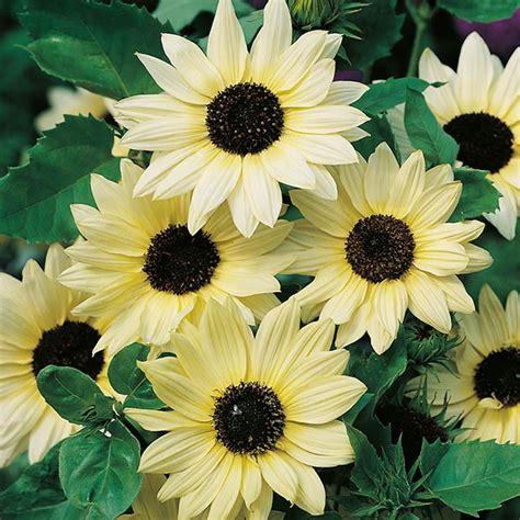 Biji Bunga Matahari Mini sunflower vanilla 08175404373 wa sms jual benih