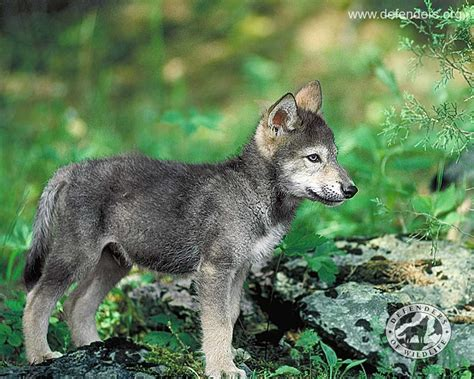 wolf puppies animals wolfpup grey wolves pets wolf pups baby friend