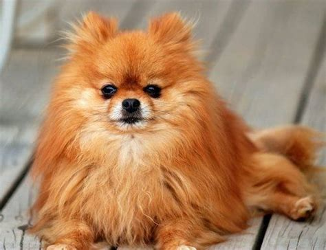 find pomeranian pomeranian pet insurance find the plan