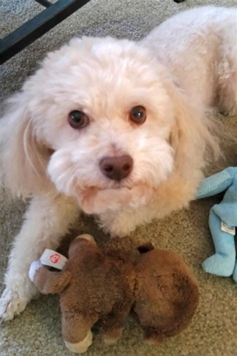 poodle mix puppies rescue bichon frise poodle mix for adoption to loving home in tx adopt rudy today