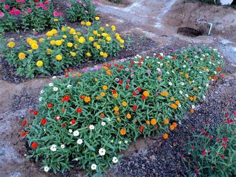 zinnia fiore coltivare la zinnia fiori in giardino consigli per