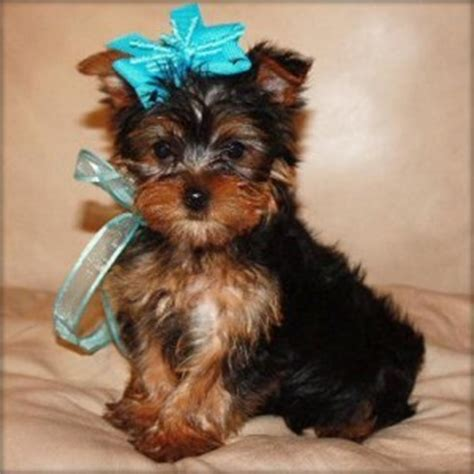 teacup yorkies adoption dogs bloomington in free classified ads
