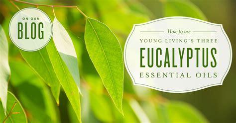 Living Eucalyptus Radiata living eucalyptus radiata essential buy here