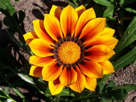 gazania fiore file gazania flower 004 jpg
