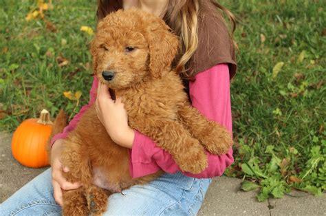 f1b goldendoodle puppies f1b puppies goldendoodles