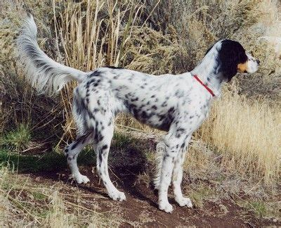 setter gun dog training llewellin setter information and pictures llewellin