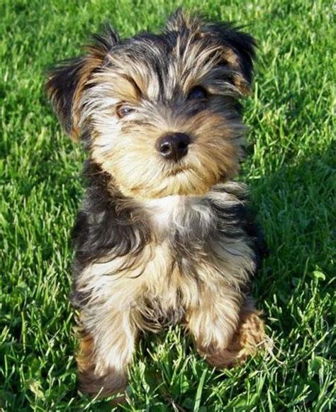yorkie terrier for free krist pams akc reg terrier puppy for re homing