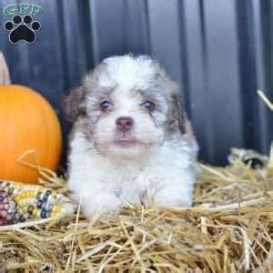 havanese puppies pa havanese puppies for sale in pa md ny nj