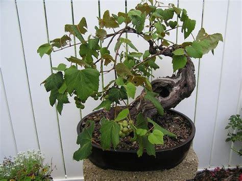 Cabernet Grapevine Bonsai It Or It by 45 Best Grape Bonsai Images On Bonsai Trees