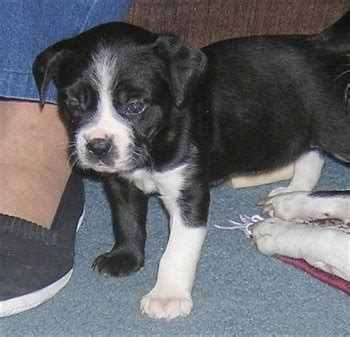 lab terrier mix puppies boston lab breed information and pictures