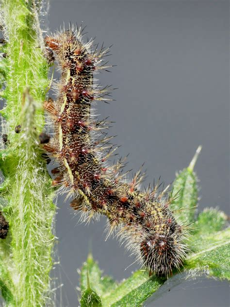 Caterpillar 05 Original file cardui caterpillar 05 hs jpg wikimedia