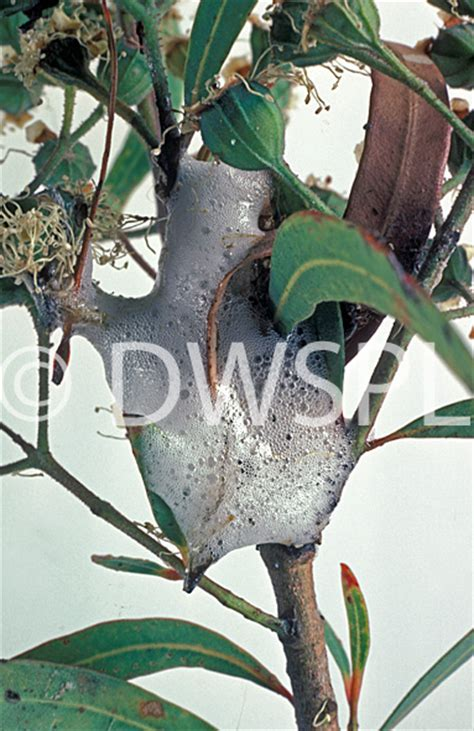 bug tree unlimited a royalty free image of spittle bugs on eucalyptus tree