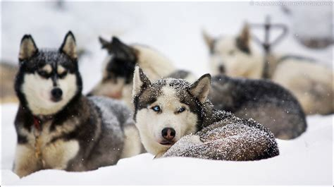 dogs that look like huskies dogs that look like huskies all about dogs
