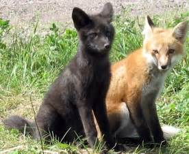 what color are foxes foxes of two colors outdoors with sam cook
